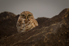 Burrowing Owl | Athene cunicularia | Chevêche des terriers