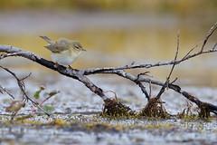 Willow Warbler | lövsångare | Phylloscopus trochilus