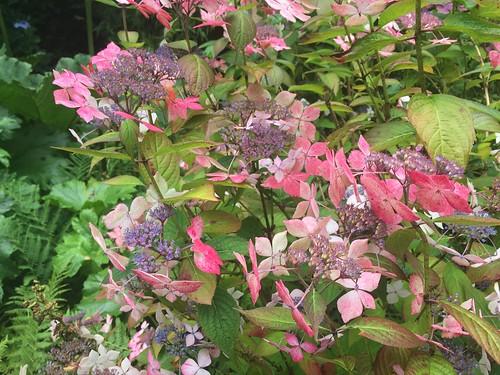 Hartland Abbey Gardens pink hydrangea