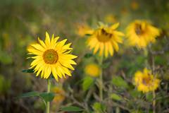 Sonnenblumen - Sunflowers-0766