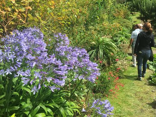 Hartland Abbey Gardens agapanthus