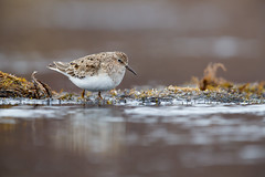 Temminck's Stint | mosnäppa | Calidris temminckii
