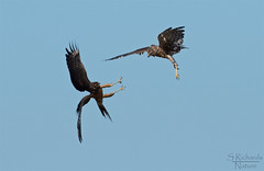 Northern harriers, adult and juvenile
