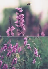 Purple-Loosestrife Pollination