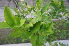 Lime tree.