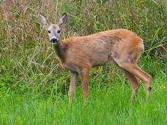 roe-deer keep an eagle eye on me