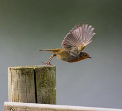 Robin, the take off