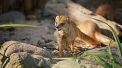 Fuchsmanguste