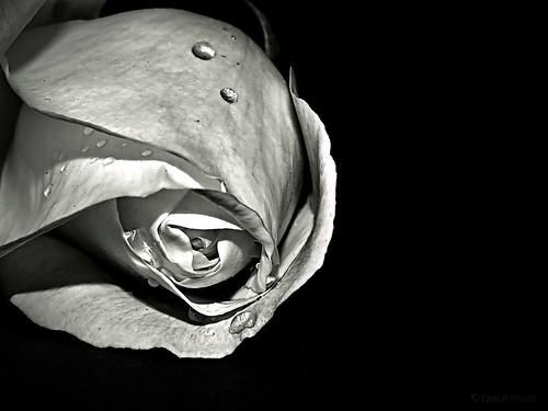 Rose/ Rózsa