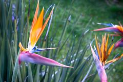 Mandela's Gold: Kirstenbosch Gardens