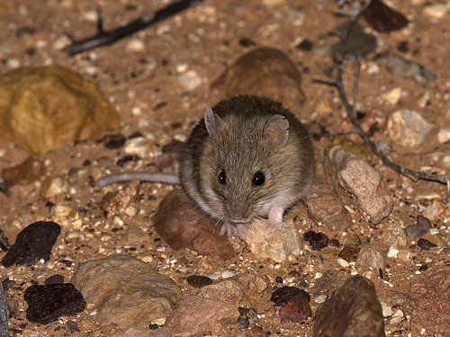 "Desert Short-tailed Mouse - Leggadina forresti - Outback SA • <a style=""font-size:0.8em;"" href=""http://www.flickr.com/photos/95790921@N07/38087965771/"" target=""_blank"">View on Flickr</a>"