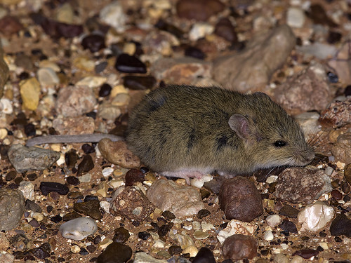 "Desert Short-tailed Mouse - Leggadina forresti - Outback SA - doing its go to sleep in the spotlight trick • <a style=""font-size:0.8em;"" href=""http://www.flickr.com/photos/95790921@N07/38087973681/"" target=""_blank"">View on Flickr</a>"