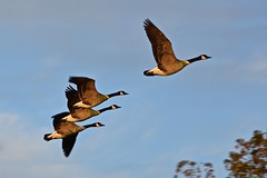 Canada Geese going to the lake
