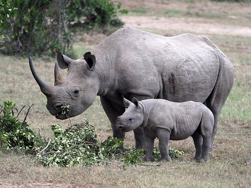 Mother and Baby Black Rhino