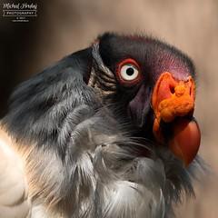 Kondor královský (Sarcoramphus papa)