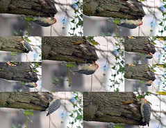 Red-BelliedWoodpecker