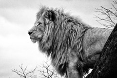 Grainy, Mono, Lion - Toronto Zoo