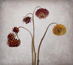 Helichrysum Curves