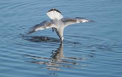 Gull Diving 2  Impact
