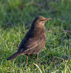 Female Blackbird - Is there something on my nose?