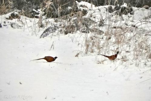 Pheasant Winter /Fácánok Tél