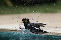 Bath time for the common myna
