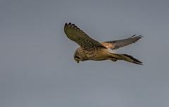 DSC_0454 Kestrel in flight