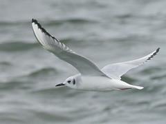 Bonaparte's Gull, non-breeding - Jones Beach