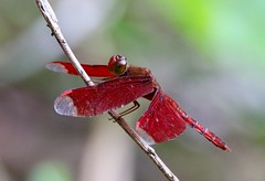 Neurothemis fulvia. Fulvous forest skimmer