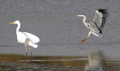 Great White Egret mobbed by Heron (1 of 2)