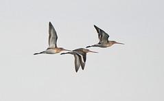 Three airborne Godwit