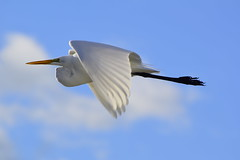 Egret in the Morning