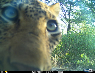Leopard encounters camera trap on Ukuwela Conservancy