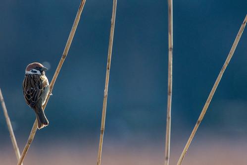 Eurasian Sparrow at Ueno Park