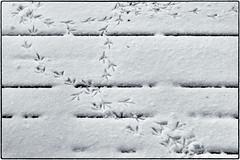 2018-02-23 54/365 Fresh tracks in morning snow