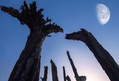 Bog wood .