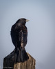 """Red-Winged Blackbird • <a style=""""font-size:0.8em;"""" href=""""http://www.flickr.com/photos/41960965@N08/40267589391/"""" target=""""_blank"""">View on Flickr</a>"""