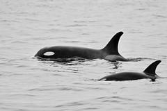 Orcas JP102158