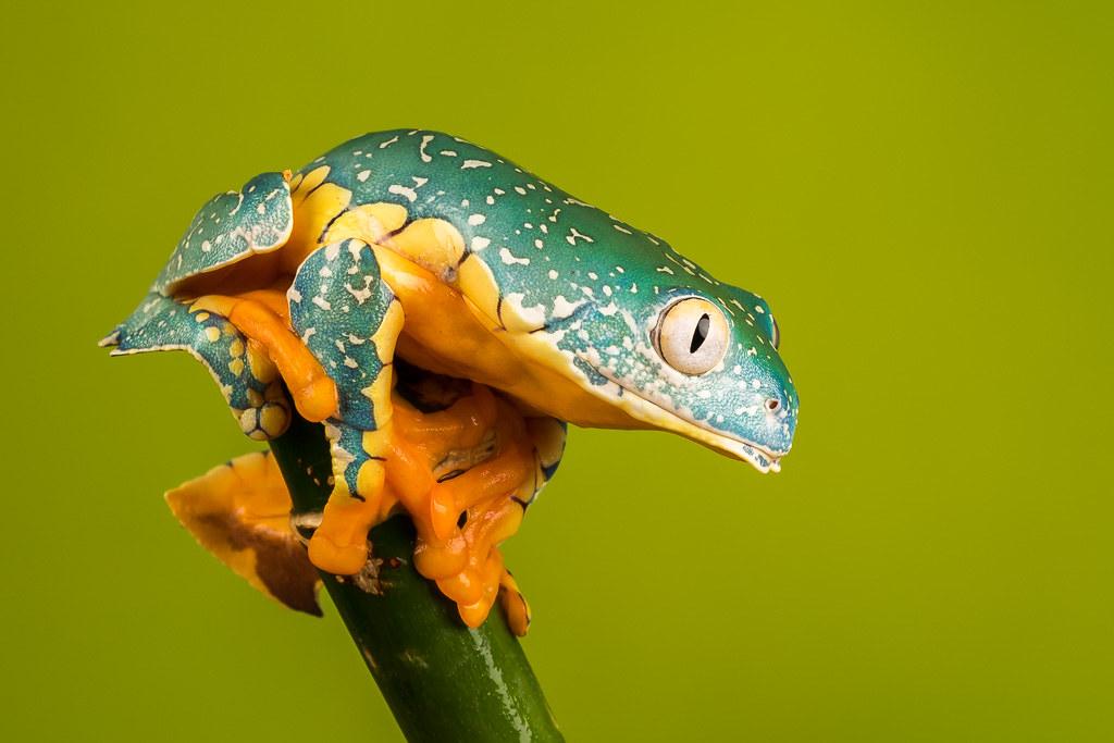 The Worlds Best Photos Of Fringedleaffrog And Frog