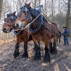 Les Flocons / Débardage à Braine-Le-Chateau / Février 2018