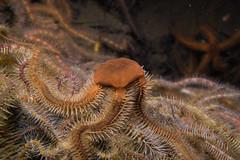 "Black Brittlestar (Ophiocomina nigra) • <a style=""font-size:0.8em;"" href=""http://www.flickr.com/photos/51511072@N04/39136974631/"" target=""_blank"">View on Flickr</a>"