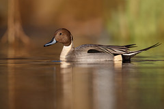 Northern Pintail | stjärtand | Anas acuta