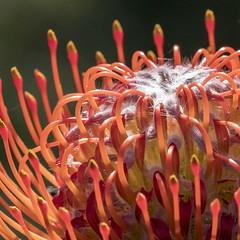 Proteus Flower