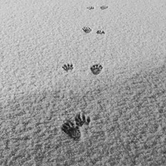 Racoon prints