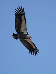 Vulture (White Backed) India