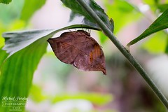 Butterfly - Kalima inachus