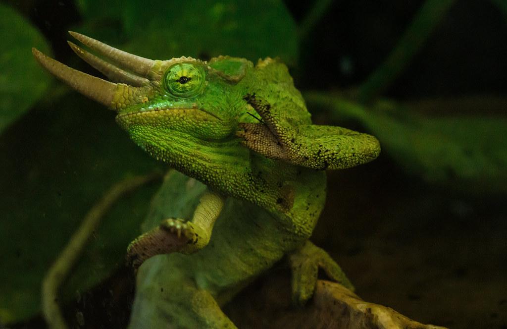 Jackson's chameleon (Trioceros jacksoni by hape662, on Flickr