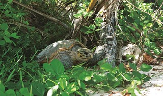 Constance Lemuria turtle