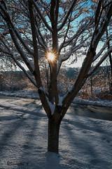 Prunus subhirtella 'Autumnalis' and Sunburst!