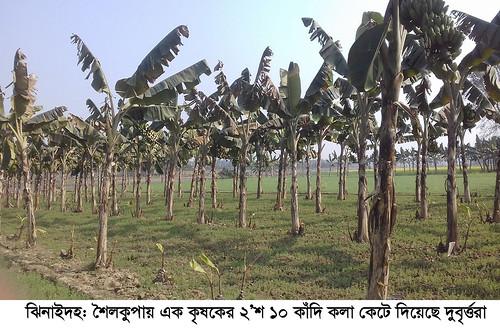 Jhenidah banana cut Photo 21-01-18 (1)
